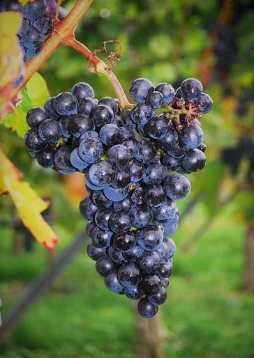 葡萄の木から学ぶ  Part1